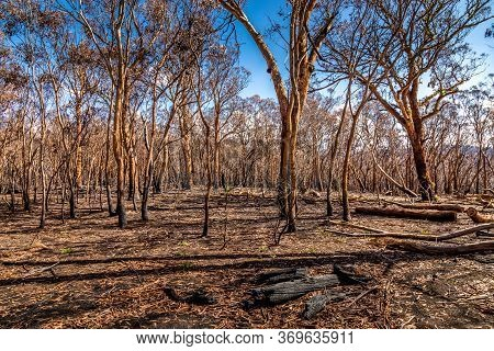 A Forest In The Snowy Mountains, Burnt Down During The Bush Fires In Australia.