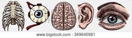 Anatomy Of Human Bones. Organ Systems. Rib Cage And Ear, Thorax And Brain, Eye And Sensory Cortex. H