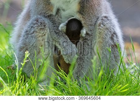 Ring-tailed Lemur With A Baby, Sitting On The Ground
