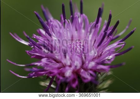 Close Up, Purple-pink Flower With Selective Focus, Shallow Depth Of Field. Carduus Acanthoides, Spin