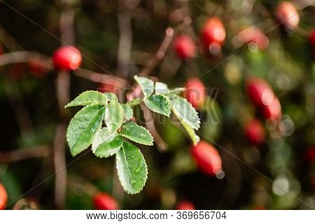 Rosehip Branch With Leaves Close-up, Lit By Autumn Sunlight.