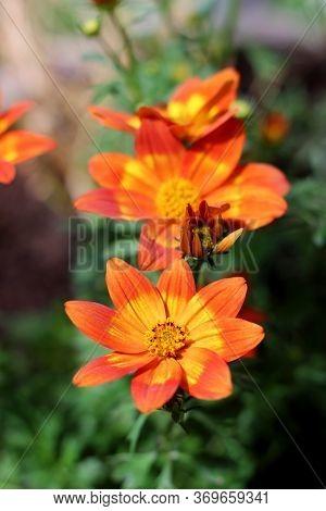 Vital Blooming Orange Red Bur Marigold Flowers