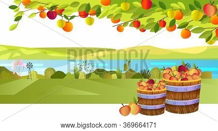 Autumn Harvest Background With Apple Tree, Branches, Leaves, Casks, And Fruit. Horizontal Rural Land