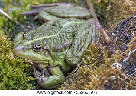 Sitting Frog In Nature