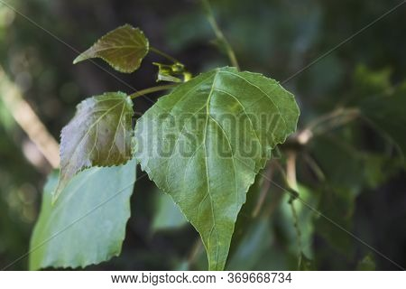 Leaf Of The Poplar Tree. Green Nature Background. Green Leaf.