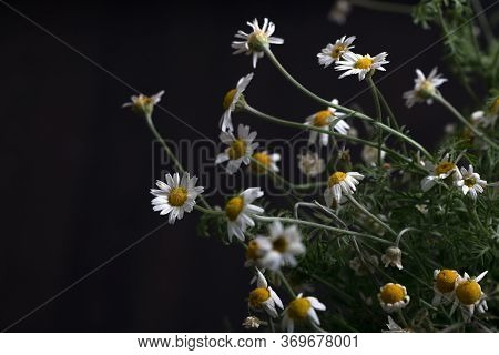 Beautiful Floral Background Of Blooming Daisies