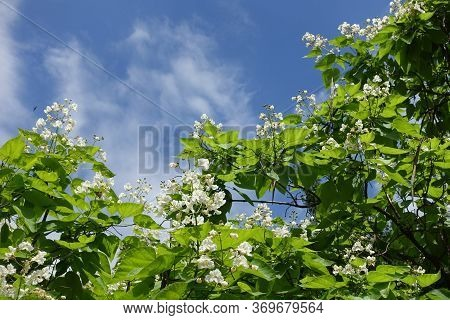 Blue Sky And Crown Of Blossoming Catalpa Tree In June