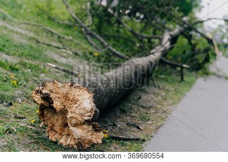 The Tree Broke On A Pedestrian Sidewalk Along An Apartment Building. The Concept Of The Wreckage Clo
