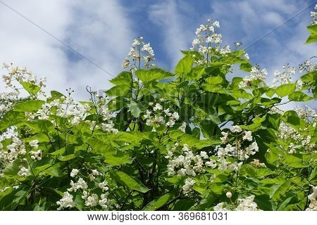 Cloudy Sky And Crown Of Blossoming Catalpa Tree In June