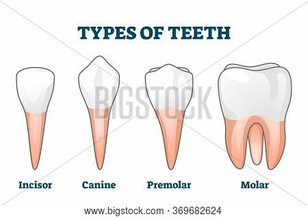Teeth Types Vector Illustration. Various Healthy Human Tooth Examples Collection. Oral Mouth Stomato