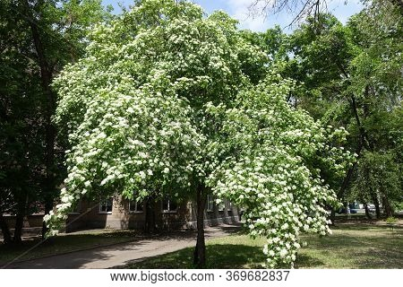 Full Length View Of Common Dogwood  Tree In Full Bloom In May