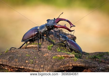 Male And Female Stag Beetle Standing Together On Tree Trunk In Summer