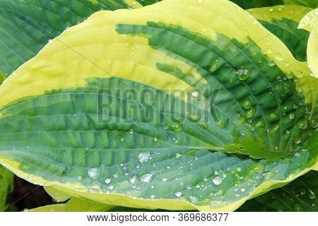 Green Leaves Of Hosta. Bush Of Hosta. Close Up Green Leaves. Plants Background