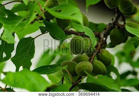 Unripe Apricot On A Branch. Close-up. Apricot Tree.