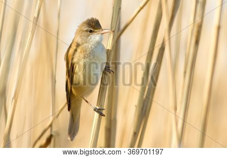 Great Reed Warbler, Acrocephalus Arundinaceus. Bird Sitting On The Reeds By The River