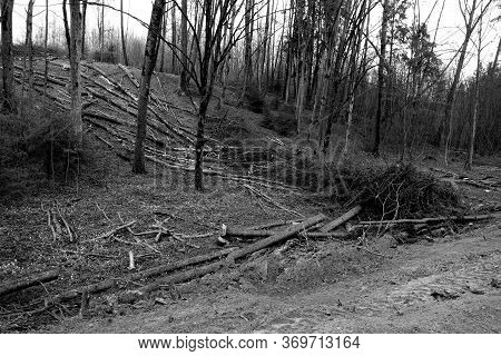 Many Pine Trees Cut In Wild Forest. Natural Background