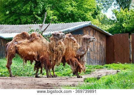 A Pair Of Two-humped Camels Are Waiting For The Owner Near The Gate Of A Wooden Barn.