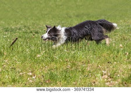 Border Collie Runs On