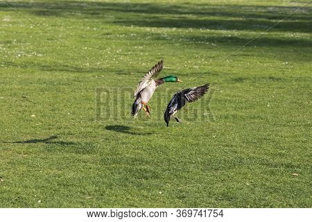 A Wild Duck Flies Over A Meadow In Nice Weather.