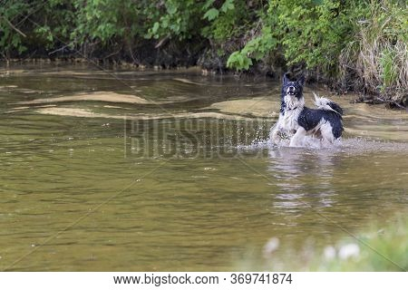 Black And White Dog Retrieves A Stick From The Water.