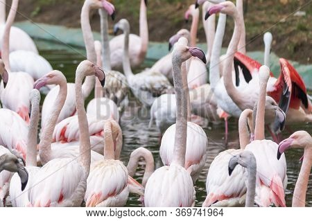 Greater Flamingo - Phoenicopterus Roseus His Portrait In Natural Habitat