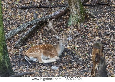 Fallow Deer - Dama Dama Lies On The Ground In The Leaves Among The Trees. There's Garbage From Peopl