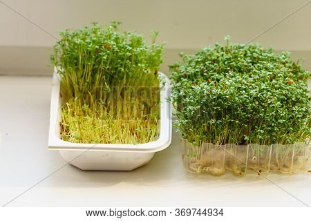Cress In A Plastic Makeshift Pot Standing On Windowsill. Herbal Flavor Seasoning During Easter.