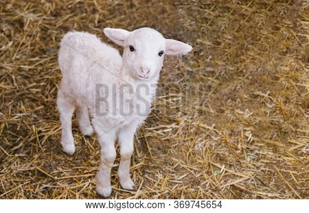 A White Lamb Stands In The Barn. The Little Lamb Looks At The Camera.