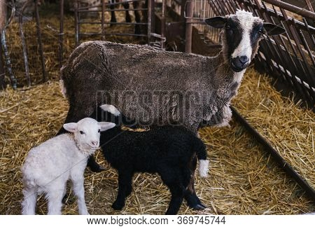 A Sheep And Two Small Lambs Side By Side In The Barn. White And Black Lamb. Lovely Lambs.