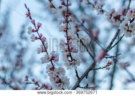 Spring Pink-white Flowers On Apricot Tree Branch. Apricot Tree Blooming Close Up On Blue Sky Backgro