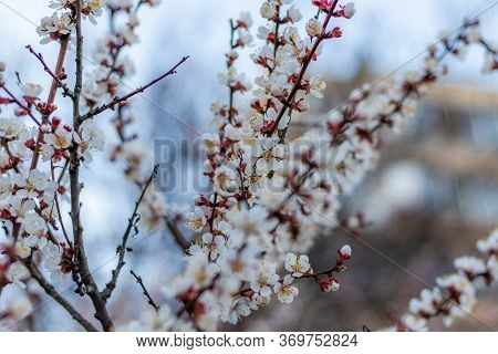 Spring White Flowers On Apricot Tree Branch. Apricot Tree Fairy Blooming Close Up On Blue Sky Backgr