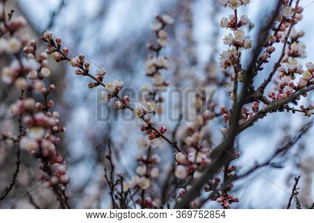 Fairy Pink-white Flowers On Apricot Tree Branch. Apricot Tree Blooming Close Up On Blue Sky Backgrou