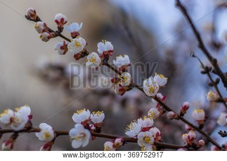 Apricot Tree Fairy Spring Blossoms. Spring Pink-white Flowers On Apricot Tree Branch