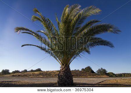 Date Palm Tree (phoenix Dactylifera)