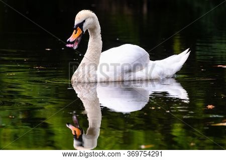 A Graceful White Swan With Open Beak Swimming On A Lake With Dark Green Water. The White Swan Is Ref
