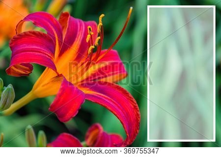 Red-purple Daylily Flower Or Hemerocallis On Green Leaves Background Close Up. Space For Text. Selec