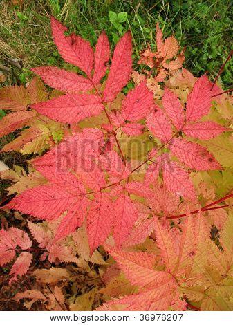 Autumn leaves aruncus dioicus