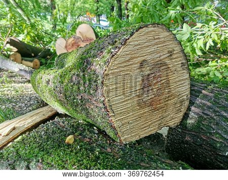 Closeup Saw Cut Tree Trunk. Growth Rings On A Saw Cut Of A Tree Trunk. Logs Of Sawn Trees With Moss