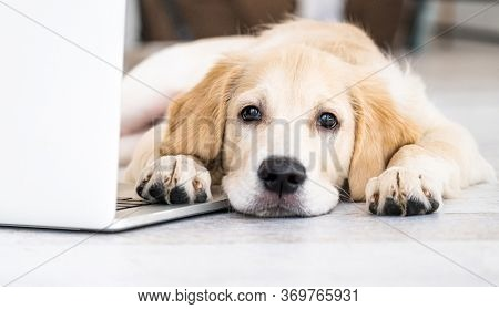 Cute golden retriever dog near laptop indoors