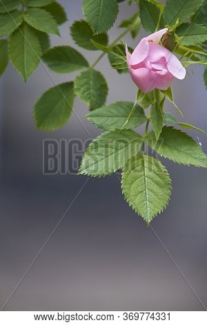 Blooming Pink Wild Rose Flower, Dog Rose, Rosa Canina, Rosehip On Green Leaves Background, Selective