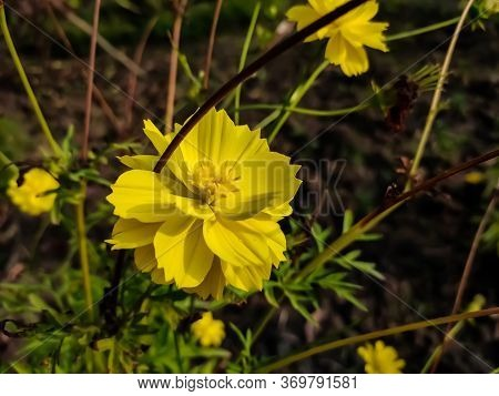 Cosmos Sulphureus Is Also Known As Sulfur Cosmos And Yellow Cosmos.