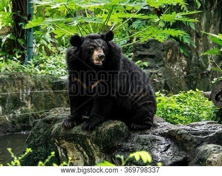 Closeup Asiatic Black Bear Is Sitting On A Rock