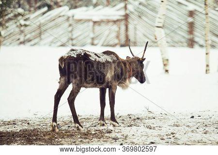 Reindeer Walking, Winter. Deer On The Snow