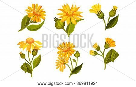 Arnica Yellow Or Orange Flower Head With Long Ray Florets On Green Stem Vector Set
