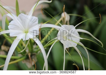 Hymenocallis Speciosa, The Green-tinge Spiderlily, Is A Species Of The Genus Hymenocallis That Is Na