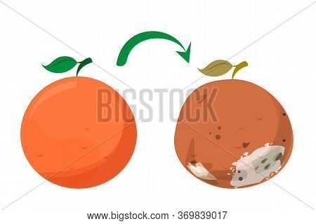 Bad Rotten Grapefruit. Food Waste Vector Isolated