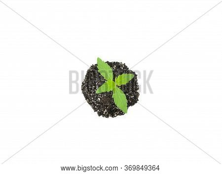 Hemp Sprout In The Ground, On A White Background. Marijuana Is A Narcotic Herb. A Young Sprout Sprou
