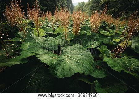 Beautiful Big And Large Leafs Of Burdock After Rain In Nature (forest Meadow). Photo Of Amazing Grea