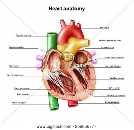 Anatomy Of The Heart. Section Of The Heart. Vector Illustration.