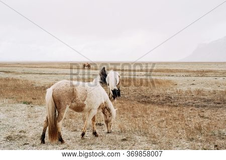 The Icelandic Horse Is A Breed Of Horse Grown In Iceland. Close-up Of A Cream-colored Horse, Against